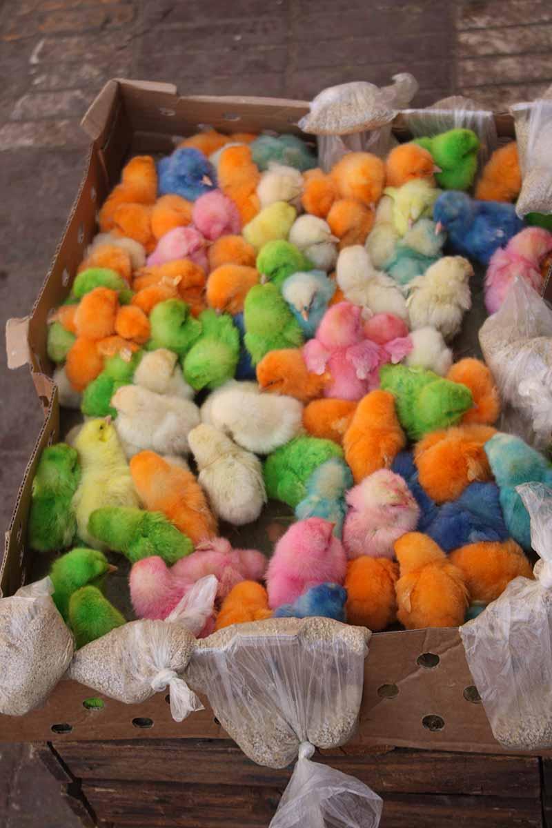 Pollos de colores en la medina de  Meknes